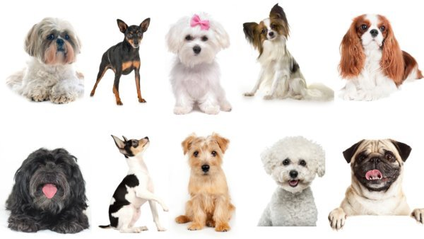 10 Best Small Dog Breeds